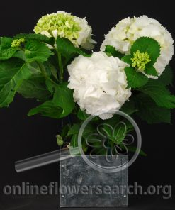 Hydrangea White Potted