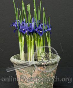 Iris Dwarf Potted