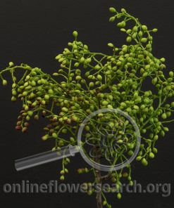 Chinese Pistache Seed