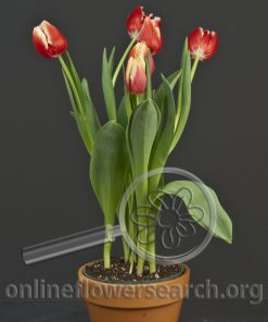 Tulips Potted