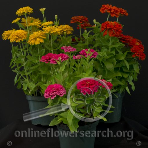 Zinnia Potted