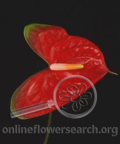 Anthurium Mickey Mouse