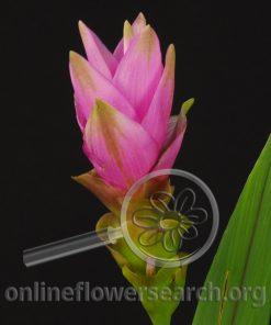 Curcuma Pink
