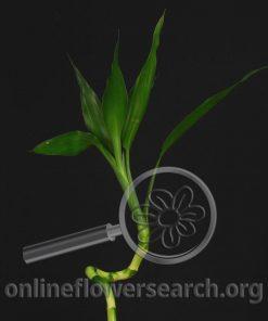 Bamboo Dracaena Curly