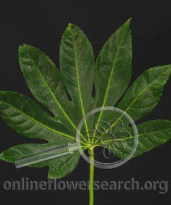 Fatsia japonica (Aralia)