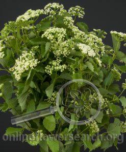 Viburnum Spring Lace
