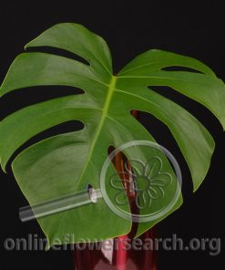 Monstera Foliage