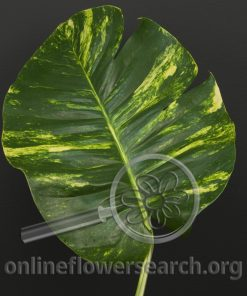 Pothos Leaves
