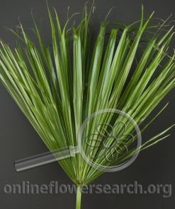 Washingtonia Foliage