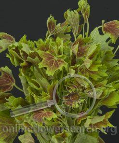 Geranium Scented Variegated