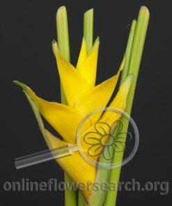 Heliconia Caribea Yellow