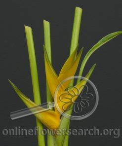Heliconia Stricta Huber Dorado
