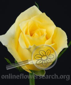 Rose Aalsmeer Gold
