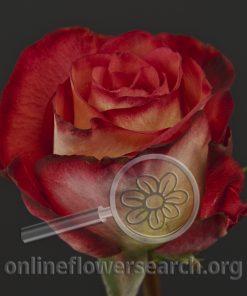 Rose African Dawn!
