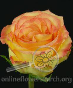 Rose Ambiance
