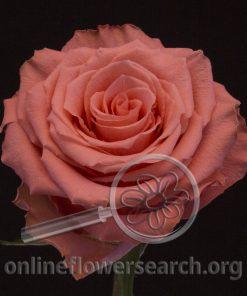 Rose Amsterdam+