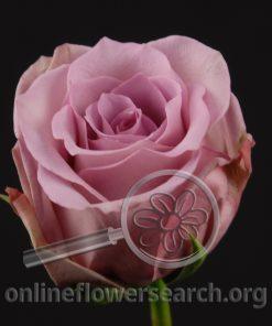 Rose Avant Garde