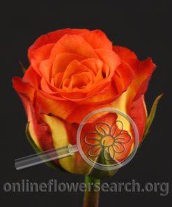Rose Bibi!