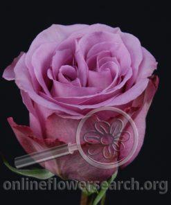 Rose Blue Curiosa