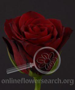 Rose Bohemian (aka Pasarela)