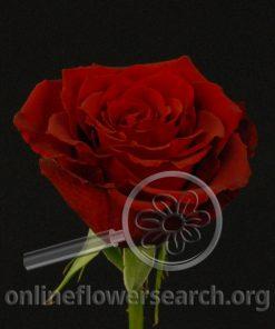 Rose Caballero