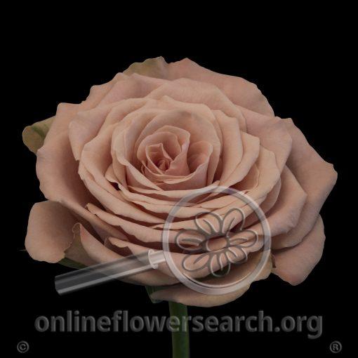 Rose Cappuccino