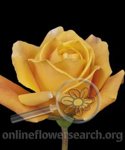 Rose Caramba