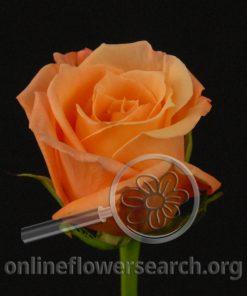 Rose Carla