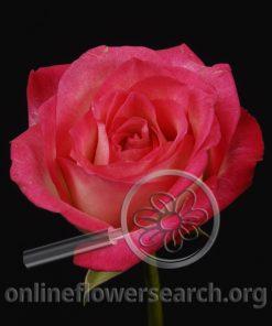 Rose Carnaval