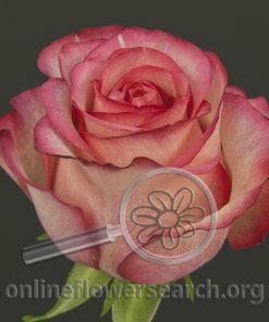 Rose Carousel