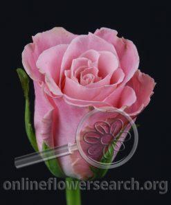 Rose Charming Unique