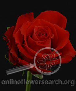 Rose Classy