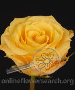 Rose Conga