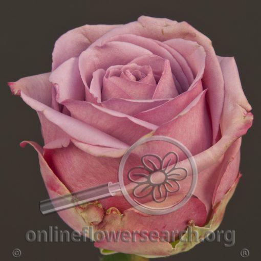 Rose Cool Water