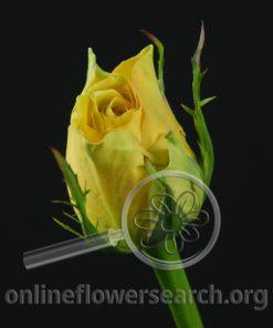 Rose Doña Sol (Donia Sol)