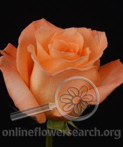 Rose Donna