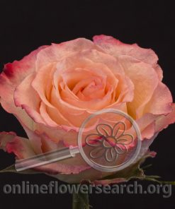 Rose Duett