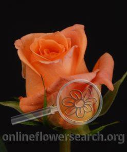 Rose El Dorado