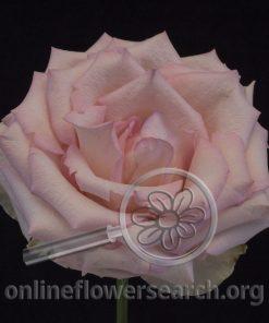 Rose Espérance