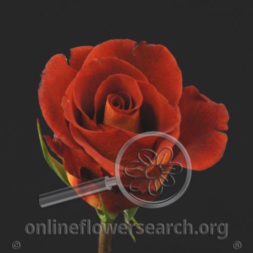 Rose Estelle