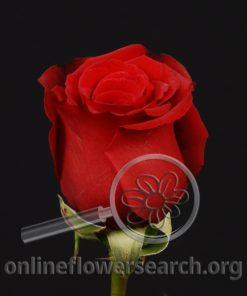 Rose Eurored