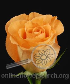 Rose Exotica