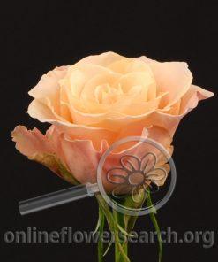 Rose Femma