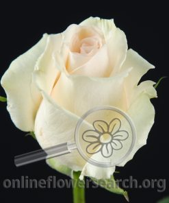 Rose Fenice