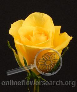 Rose Gold Strike