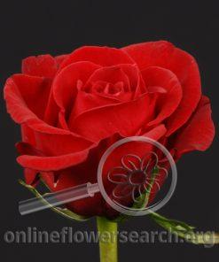 Rose Grand Gala