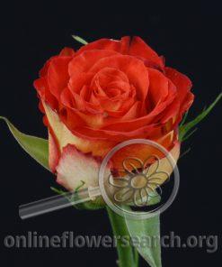 Rose High Society