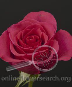 Rose Hot Princess