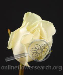 Rose Ivory