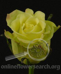 Rose Jade